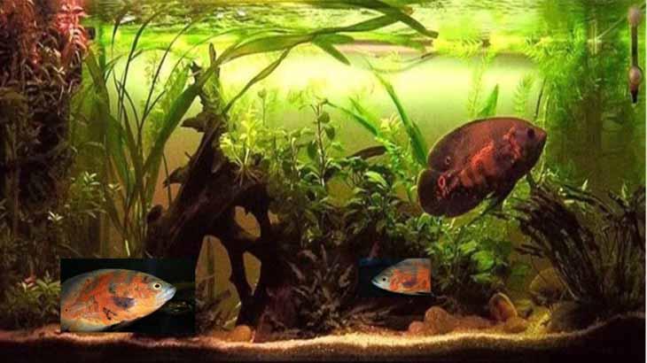 Рыбки Астронотусы уход за аквариумом