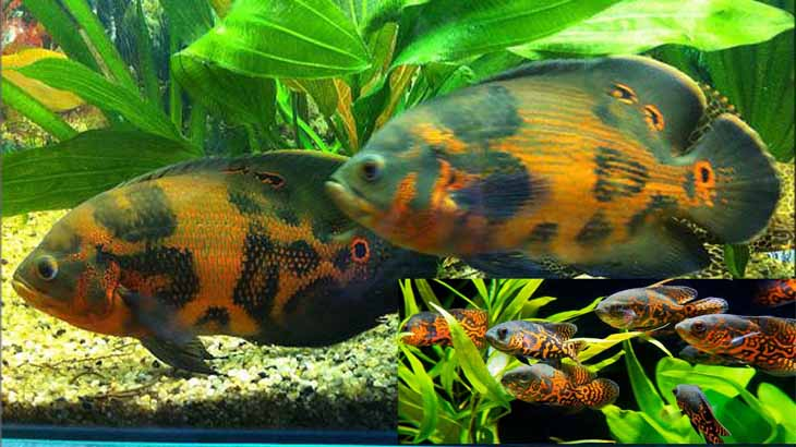 Красивый аквариум с Астронотусами