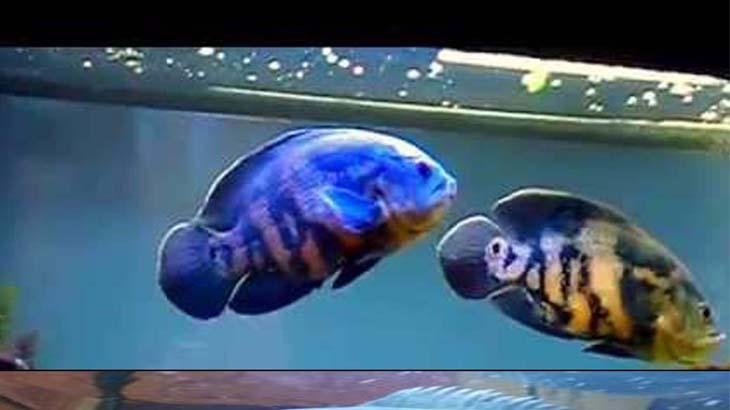 Астронотусы – крупные рыбы