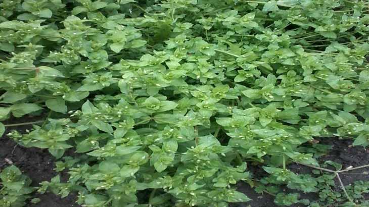 Мокрица лечебная трава