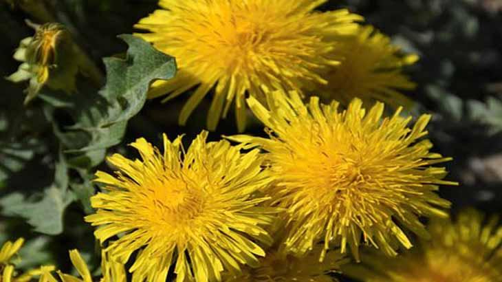 Одуванчик распространенное и лечебное растение