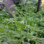 Лечебные травы на нашей даче