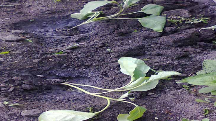 Высадка рассады баклажан в грунт
