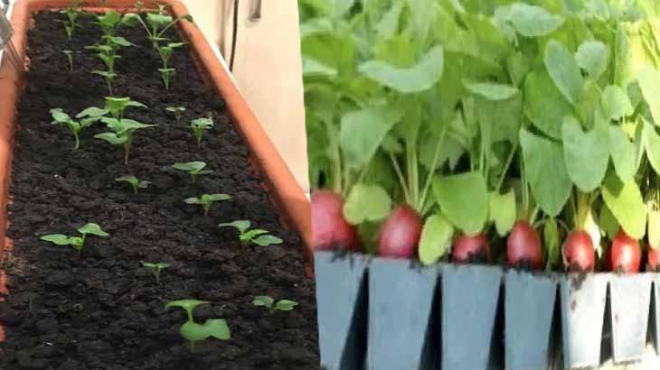 Выращивание редиса в кассетах для рассады