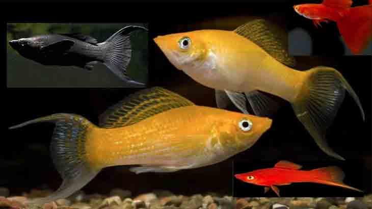 Живородящие рыбки моллинезии