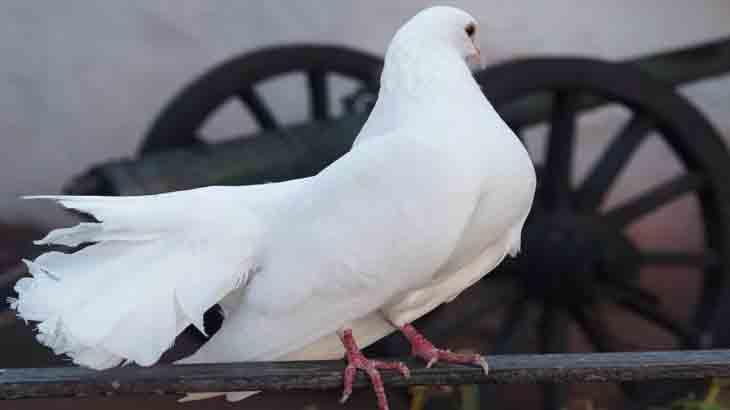 Любопытные факты о почтовых голубях