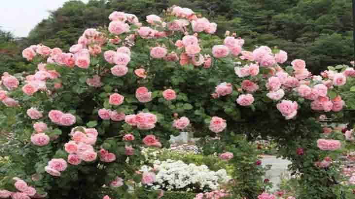 Плетистые (вьющиеся) розы