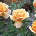Разновидности роз. Выращиваем розу из букета