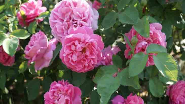 Сорт роз Мадам Санси де Парабер