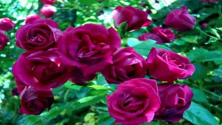 Роза, сорт Кримсон Рамблер