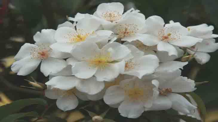 Роза, сорт R. mosehata