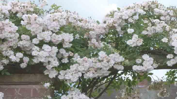 Роза, сорт Фелисите Перпетю