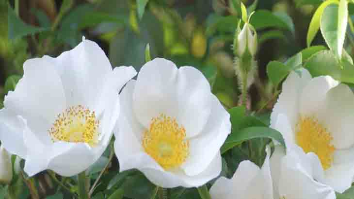 Роза, сорт R. arvensislluds