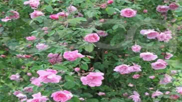Роза, сорт R. laevigata