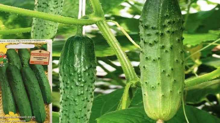 Сорта огурцов для открытого грунта: самые урожайные сорта для разных регионов