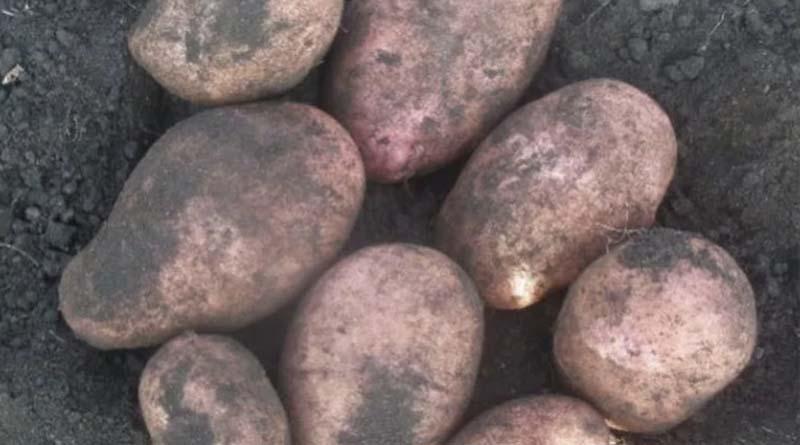 Сорт картофеля Берлихинген