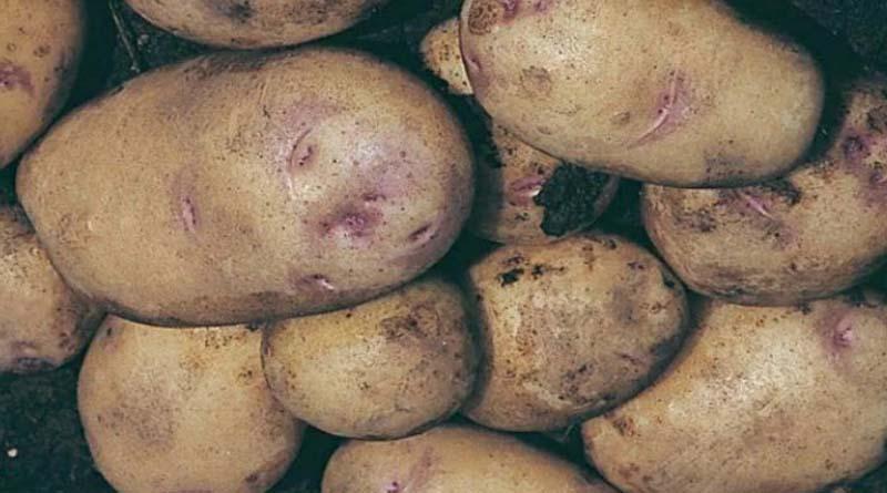 Сорт картошки Улыбка