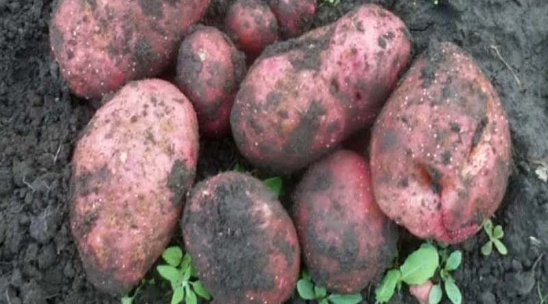 Картофель сорта Вольтман