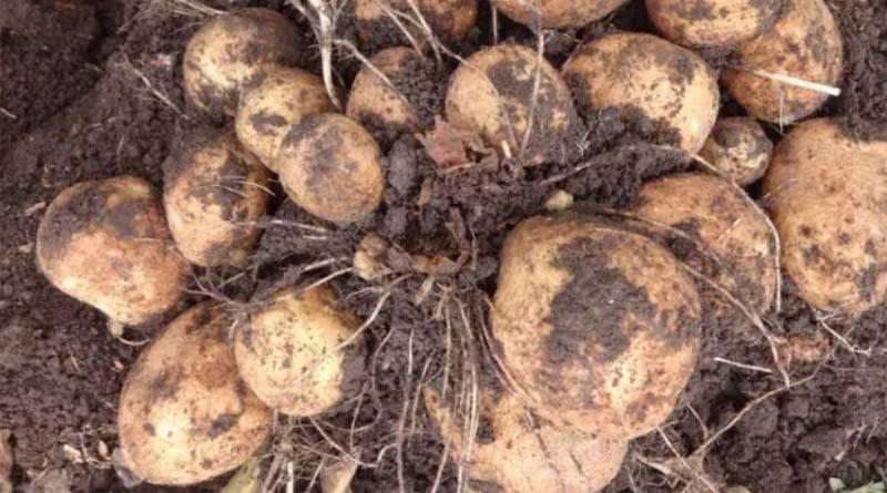 Сорт картофеля Кобблер