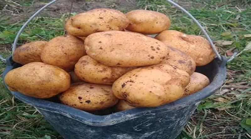 Картофель сорта Курьер