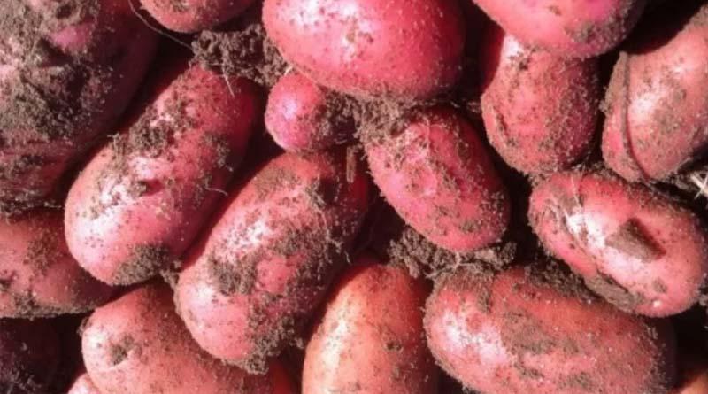 Картофель сорта Рябинушка