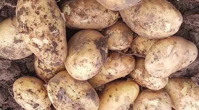 Картофель, сорт Московский