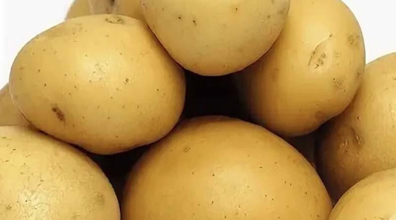 Сорт картофеля Волжанин
