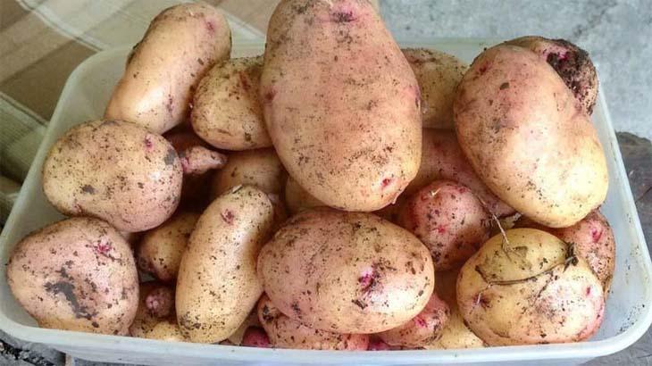 Описание самых вкусных и плодородных сортов картофеля