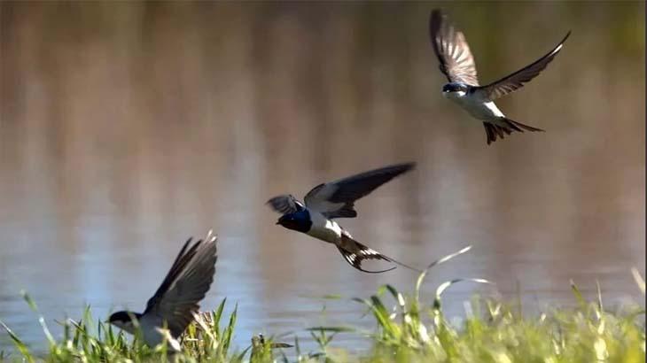 Низко летающие ласточки